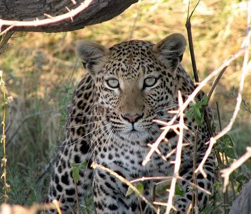 2007-06-26 16-59 JT por Fouderg. Léopard entre la rivière Kwaï et le Dombo Hippo Pool, parc national de Moremi, Botswana. Por Fouderg